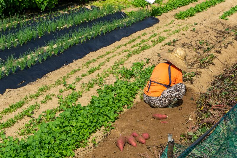 Female farmer is harvesting fresh red sweet potato tubers from the filed during harvest season.  royalty free stock image