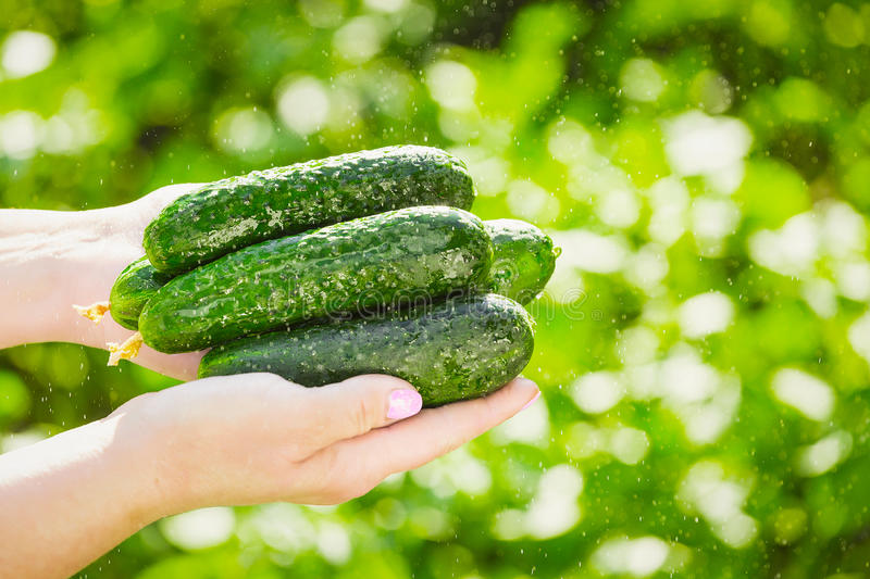 Female farmer holds fresh organic cucumbers in her hands - closeup image stock photo
