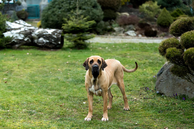 Female of Fila Brasileiro (Brazilian Mastiff). One year old female of Fila Brasileiro (Brazilian Mastiff stock photo