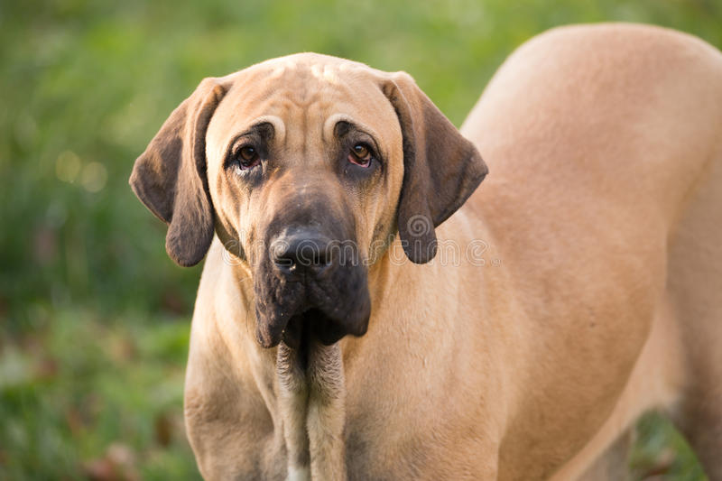 Female of Fila Brasileiro (Brazilian Mastiff) royalty free stock images