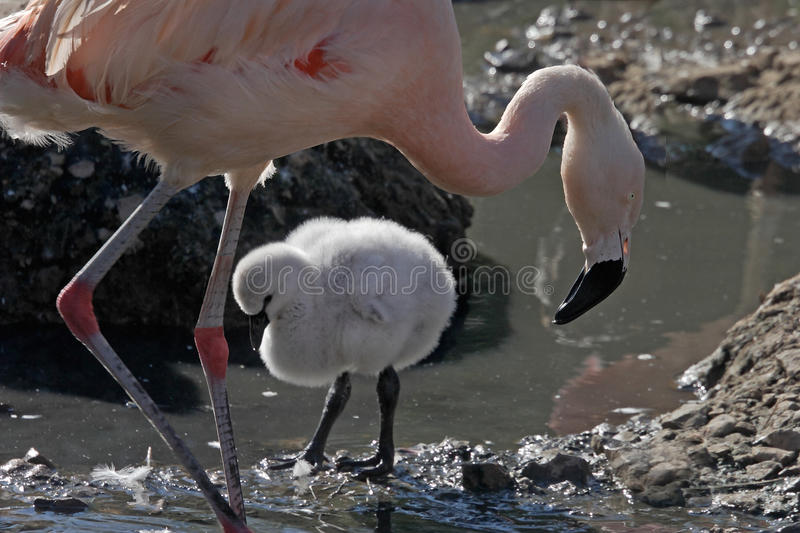 Download Female Flamingo and chick stock image. Image of flamingo - 12400011