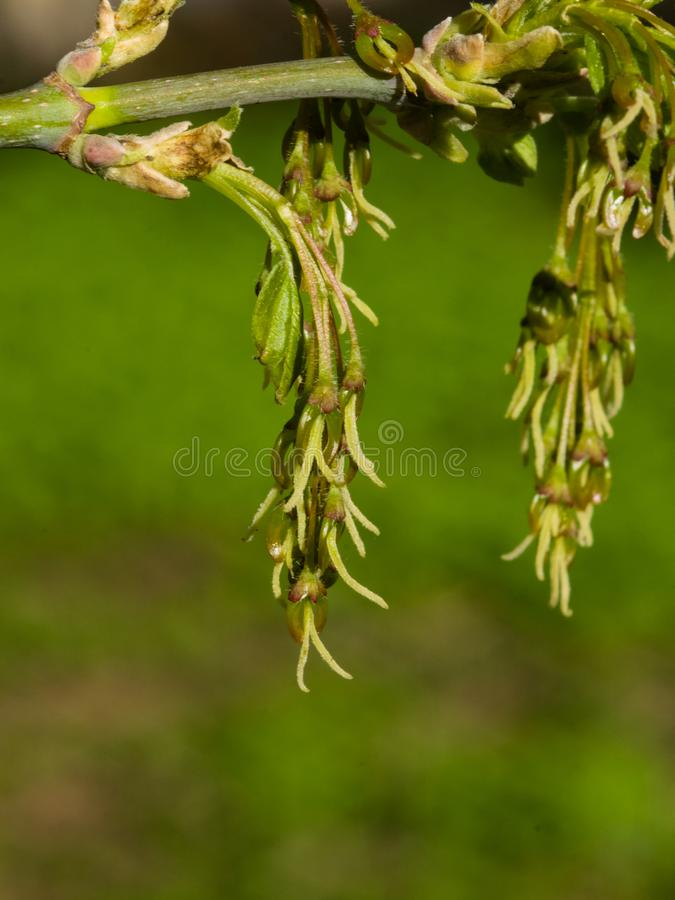 Female flowers on branch ash-leaved maple, Acer negundo, macro with bokeh background, selective focus, shallow DOF.  stock photography