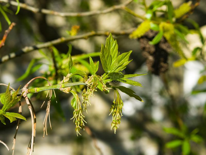 Female flowers on branch ash-leaved maple, Acer negundo, macro with bokeh background, selective focus, shallow DOF.  royalty free stock images