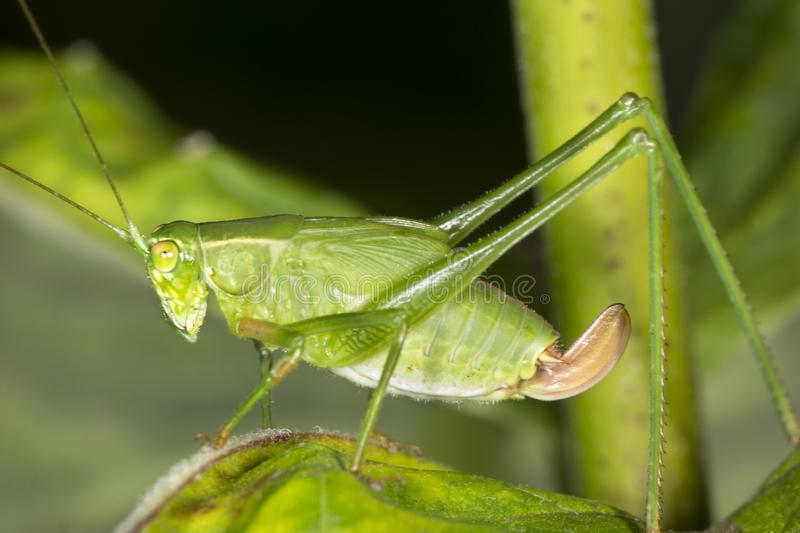 Fork tailed bush katydid nymph on milkweed leaf in Connecticut. royalty free stock images