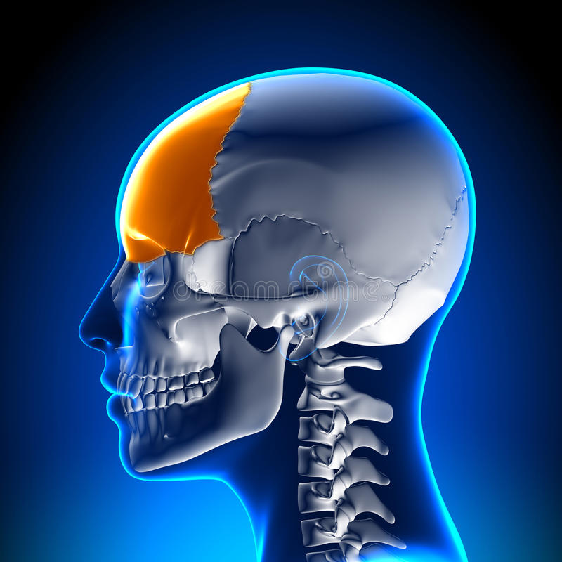 Female Frontal Bone - Skull / Cranium Anatomy vector illustration