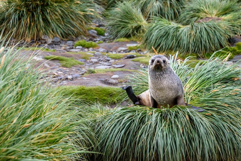 Female fur seal sitting and watching on a mound of native Tussac Grass in Royal Bay, South Georgia royalty free stock photo