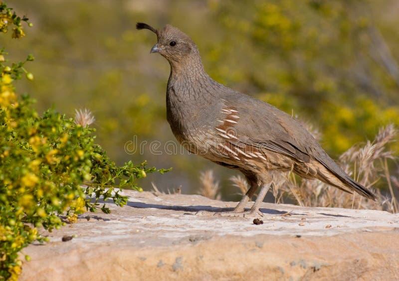 female gambel quail s стоковое фото rf