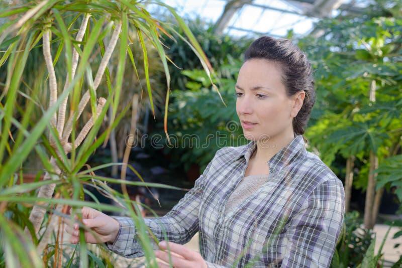 Female gardener examining plants at greenhouse. Gardener stock photography