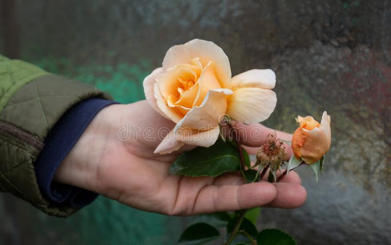 Female Gardener happily holds a yellow rose blossom on the rose bush in the rose garden in your earthy wrinkled hand stock photos