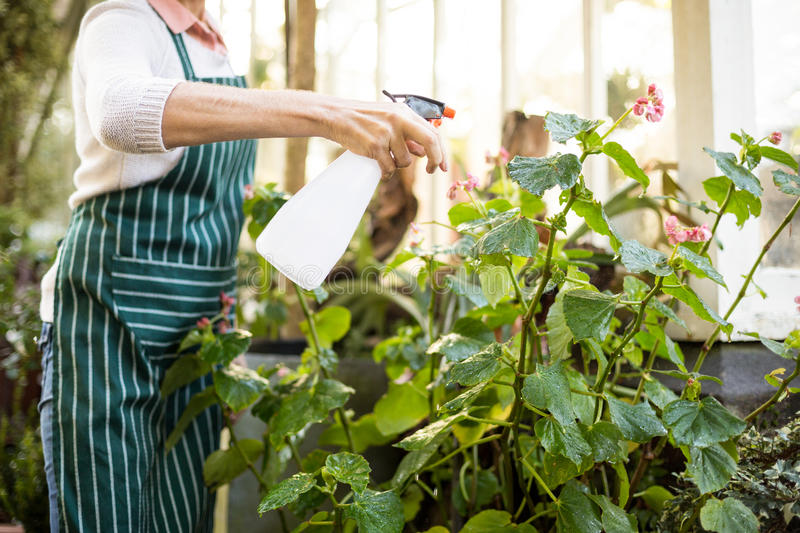 Female gardener spraying water on plants. Midsection of female gardener spraying water on plants outside greenhouse stock images