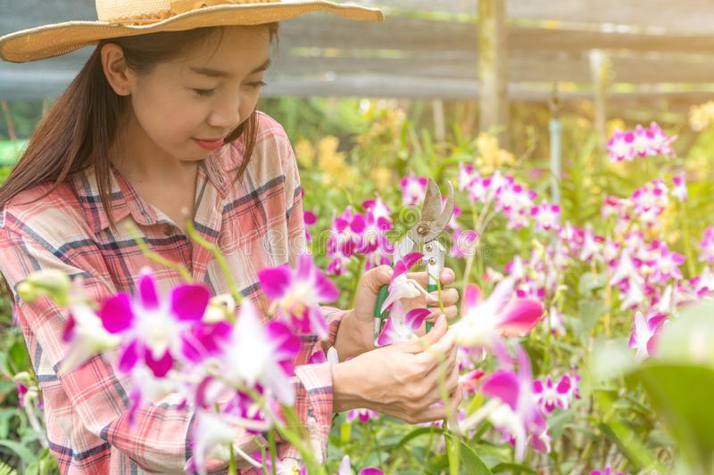 Female gardeners wear a plaid shirt and wear a hat. Hands holding scissors for cutting orchids royalty free stock photography