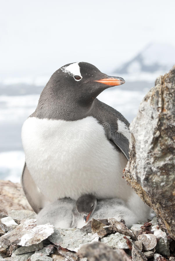 Female And Gentoo Penguin Chicks. Royalty Free Stock Image