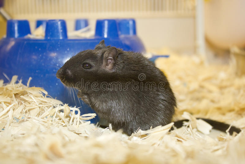 Female gerbil royalty free stock photo