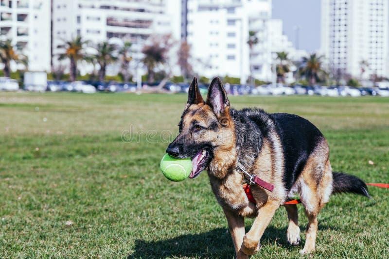 German Shepherd Playing in Park stock images