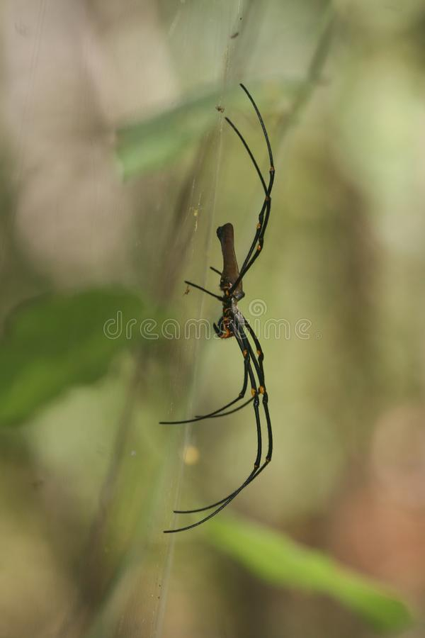 Female giant golden silk orb-weaver spider Nephila pilipes on web. Female golden silk orb-weaver spider Nephila pilipes on web also showing tiny scavenging royalty free stock photography
