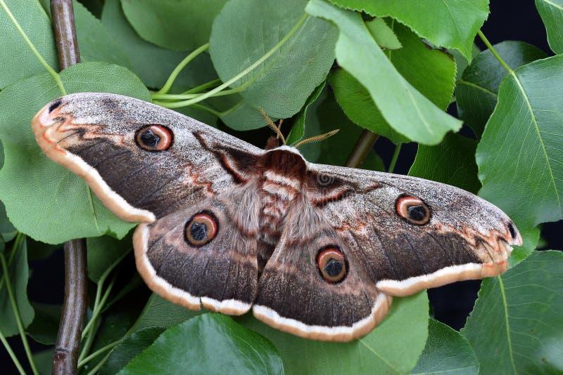 Female of Giant Peacock Moth (Saturnia pyri) stock photos
