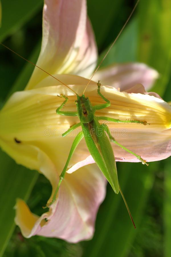 A female of a giant singing grasshopper sitting on a daylily flower royalty free stock photography