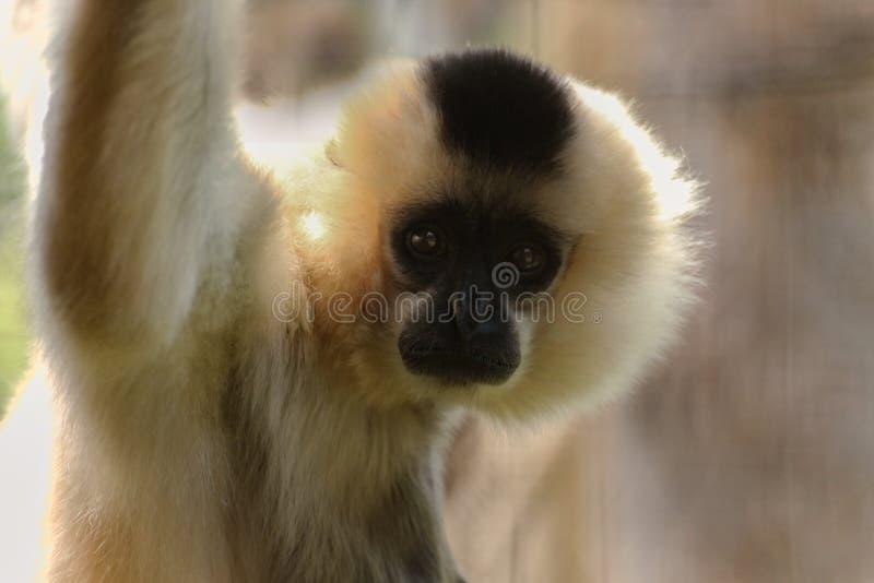 Female gibbon looks into camera. Face white monkey stock photo