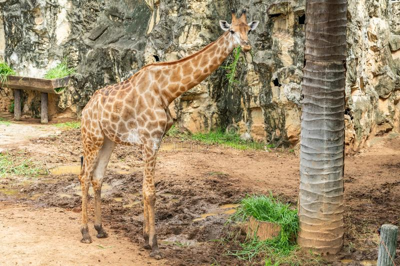 A female giraffe is chewing the grass in the zoo stock image