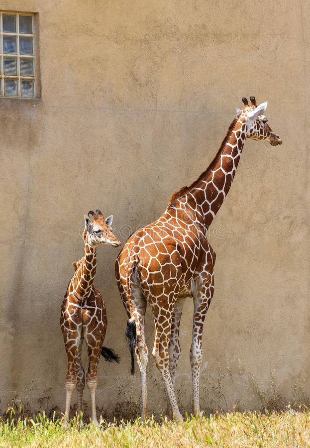 Female giraffe with its calf on wall background. stock photo