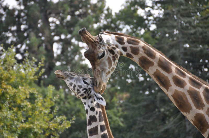 Download Female giraffe with young stock image. Image of mother - 11281525