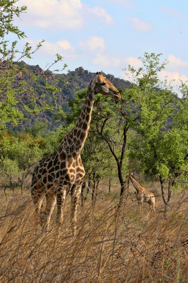 Female giraffes with youngsters, Matopos National Park, Zimbabwe royalty free stock photography