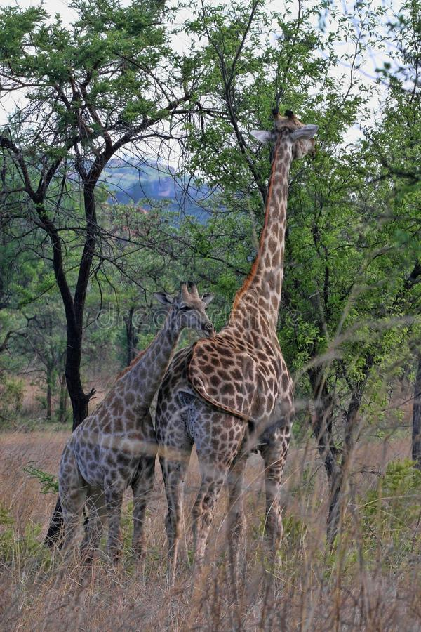 Female giraffes with youngsters, Matopos National Park, Zimbabwe stock photos