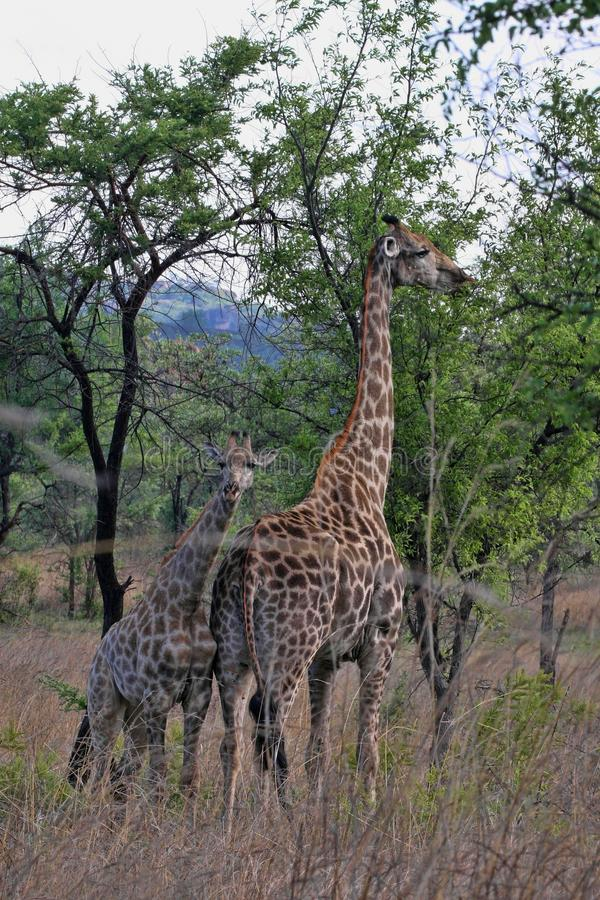 Female giraffes with youngsters, Matopos National Park, Zimbabwe stock photo