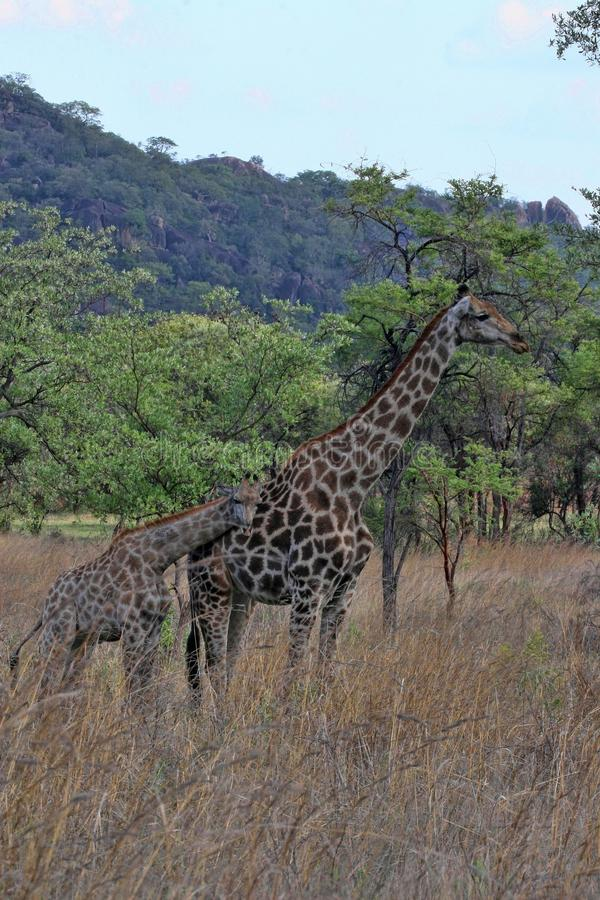 Female giraffes with youngsters, Matopos National Park, Zimbabwe royalty free stock image