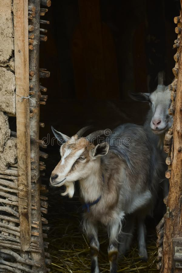 Female goat with horns in traditional barn stock photography