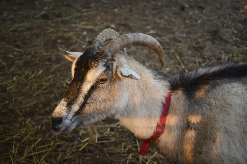 Female goat with horns in traditional barn stock image