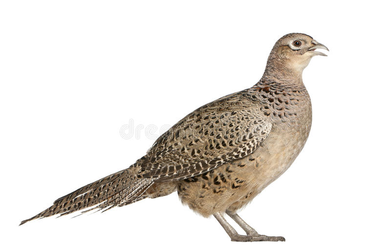 Female Golden Pheasant. Or 'Chinese Pheasant', Chrysolophus pictus, standing in front of white background stock photo