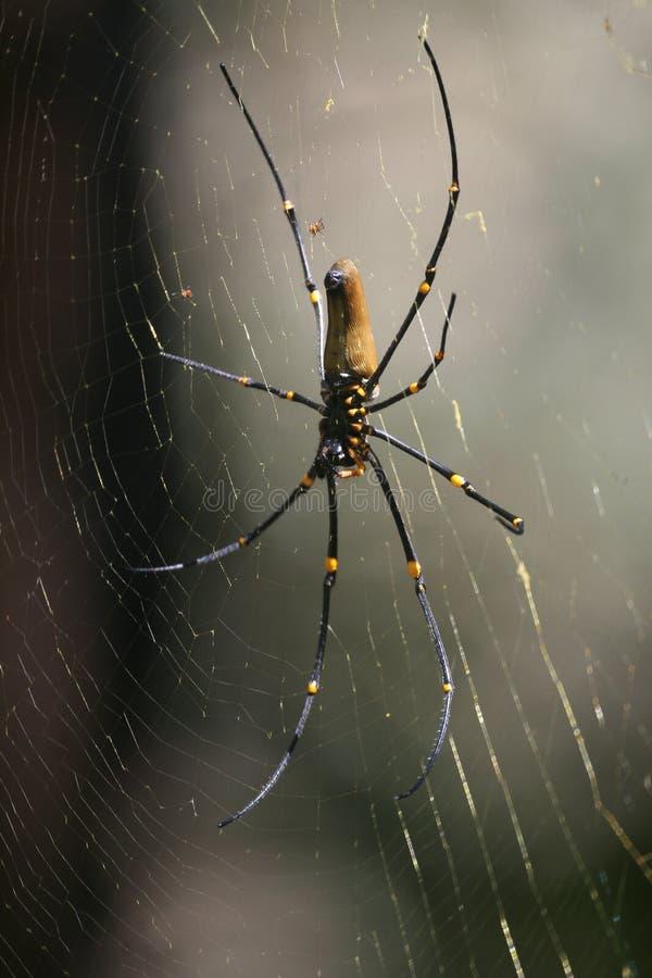 Female giant golden silk orb-weaver spider Nephila pilipes on web showing underside. Female golden silk orb-weaver spider Nephila pilipes on web also showing stock photos