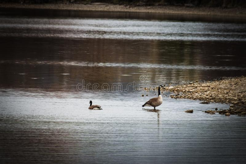 Female Goose Leaves Her Mate on the Shore. After a male goose displays for his mate in the shallow waters of a rocky lake shore. She swims away, leaving him royalty free stock photos