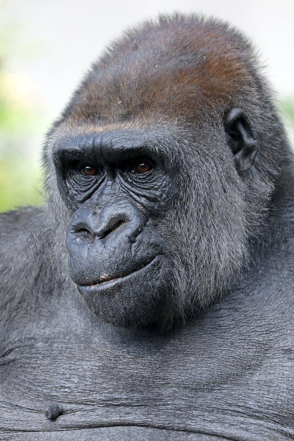 Free Female Gorilla Stock Photos - 107512363