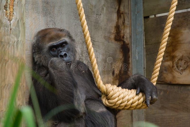 Female Gorilla looking sad. Next to rope swing stock photos
