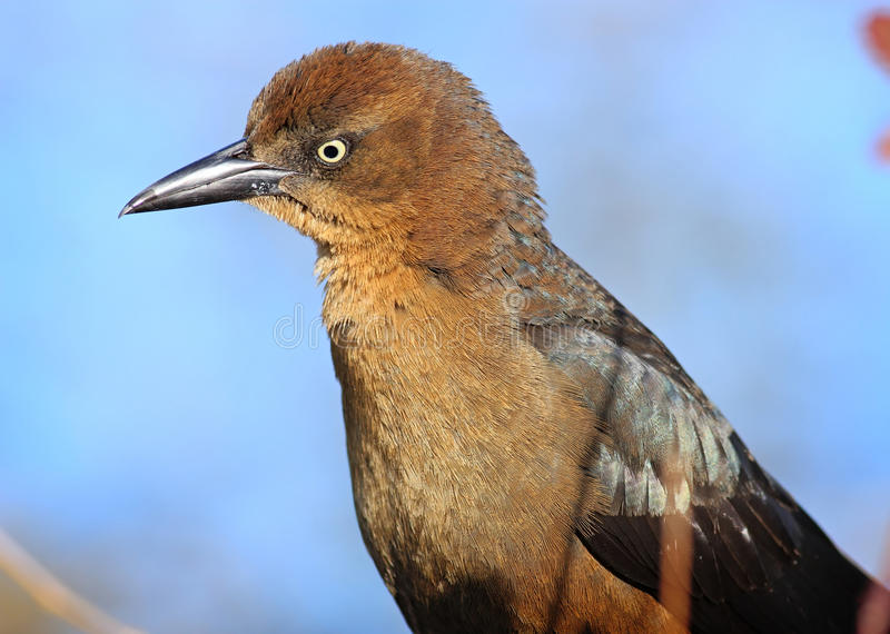 Download Female Grackle stock photo. Image of black, head, shiny - 38212850