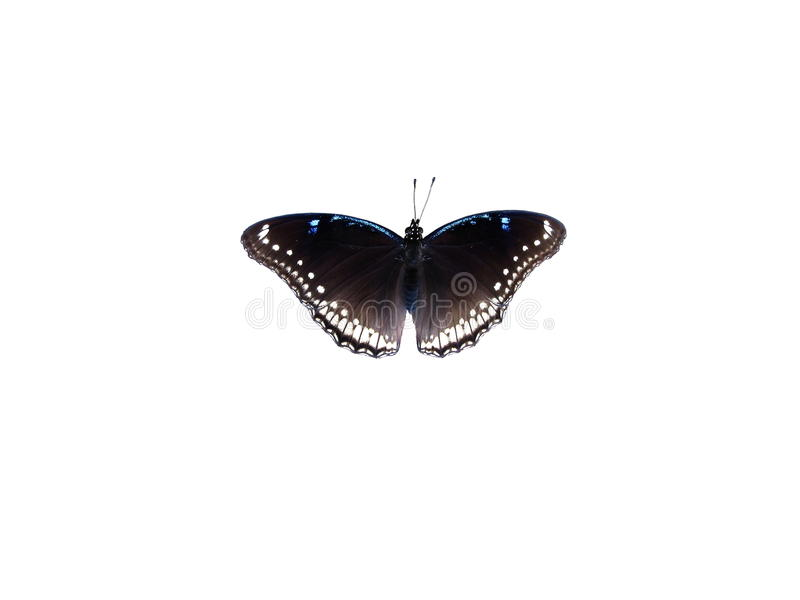Female Great Eggfly Isolated On White. Topview of a Malaysian Great Eggfly, Hypolimnas bolina stock photography