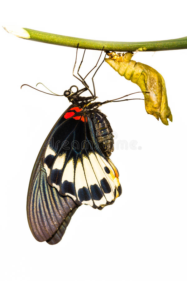 Female great mormon butterfly. New born female great mormon butterfly hanging near pupa in white backgound stock photo