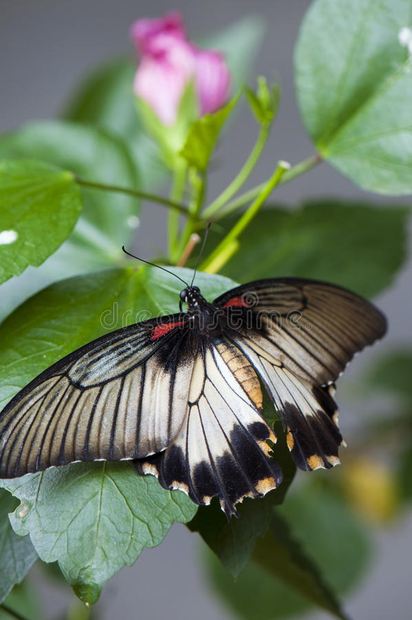 Female great mormon butterfly stock image