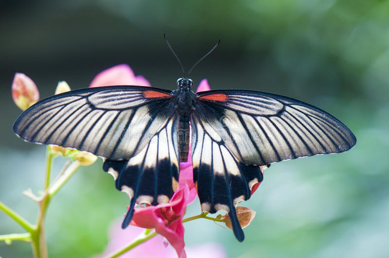 Female great mormon butterfly. (Papilio memnon agenor) perching on pink flower royalty free stock image