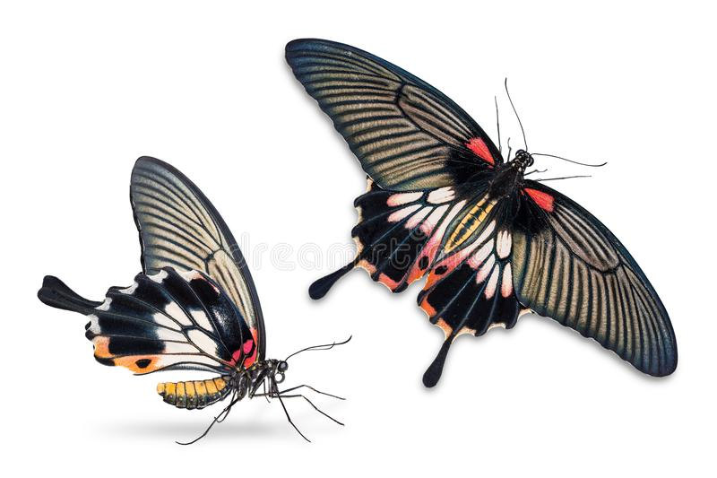Female Great Mormon Papilio memnon butterfly royalty free stock image