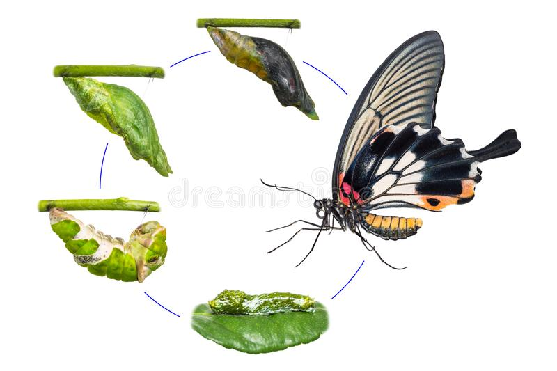 Female Great Mormon Papilio memnon butterfly life cycle. From caterpillar to pupa and its adult form, isolated on white background with clipping path royalty free stock images