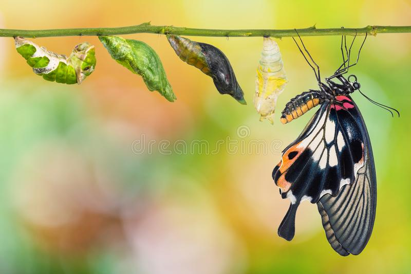 Female Great Mormon Papilio memnon butterfly life cycle stock image
