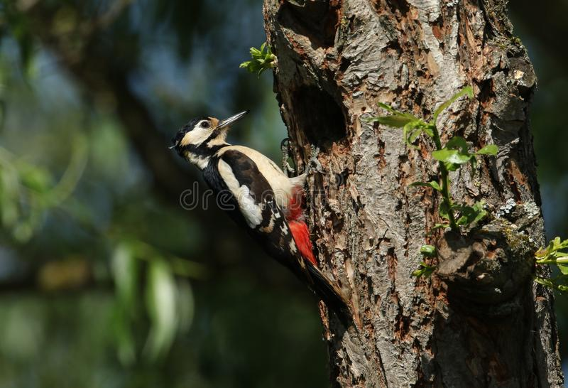 A pretty female Great spotted Woodpecker, Dendrocopos major, perching on the edge of its nesting hole in a Willow tree. A female Great spotted Woodpecker stock images