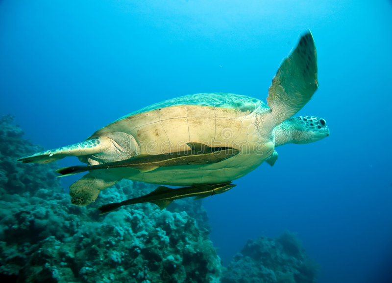 Female green turtle royalty free stock photo