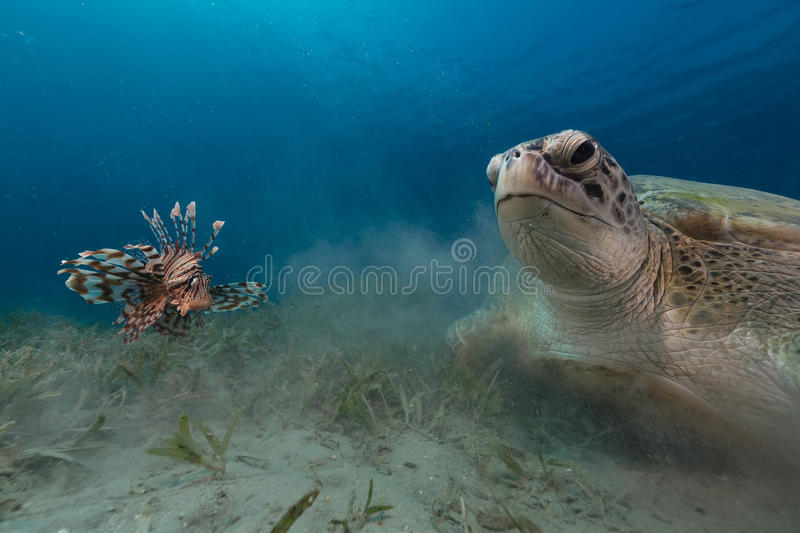 Female green turtle and lionfish in the Red Sea. royalty free stock photo