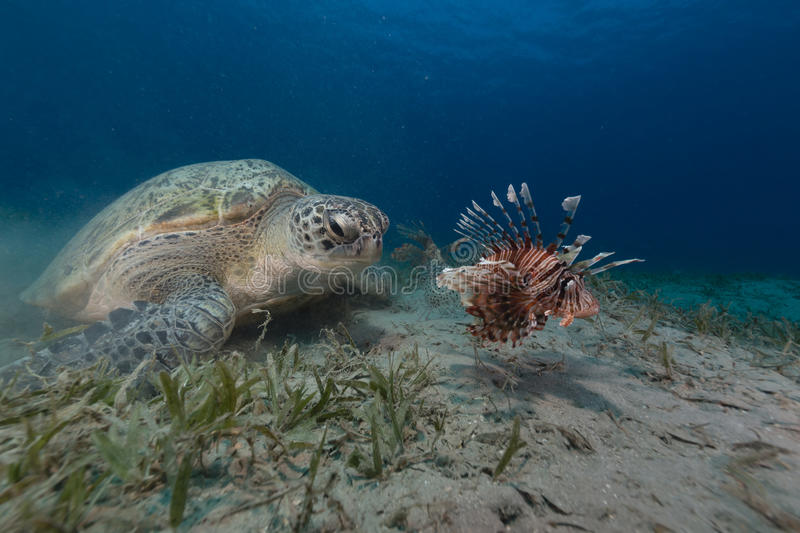 Female green turtle and lionfish in the Red Sea. royalty free stock image