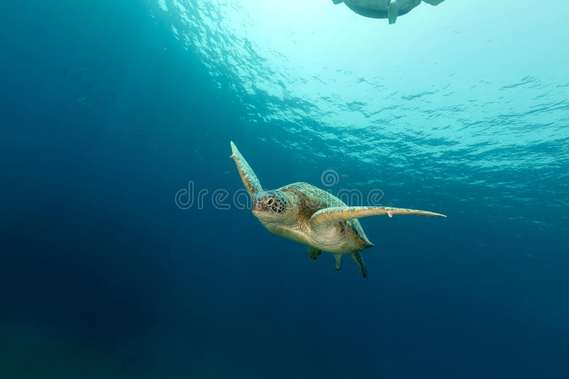 Female green turtle in the Red Sea. stock photos