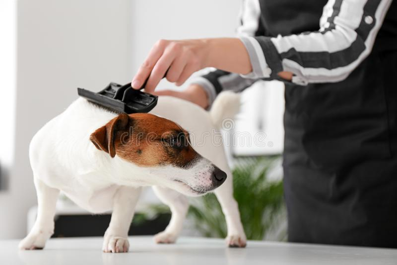 Female groomer brushing dog in salon royalty free stock images